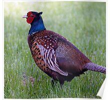 Pheasant. Poster