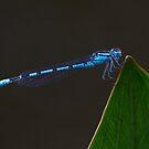 Common Blue Damselfly by Neil Bygrave (NATURELENS)