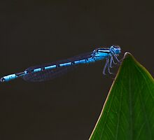 Common Blue Damselfly by Neil Bygrave (NATURELENS)