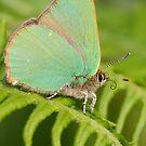 Green Hairstreak Butterfly by Neil Bygrave (NATURELENS)