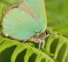 Green Hairstreak Butterfly by Neil Bygrave (NATURELENS)