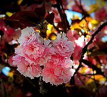 Cherry Blossoms       ^ by ctheworld