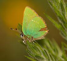 Green Hairstreak Butterfly by Jon Lees