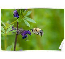 Flying Bumblebee Poster