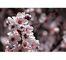 Japanese Cherry Tree (1) Photographic Print
