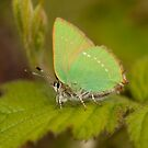 Green Hairstreak Butterfly by Jon Lees
