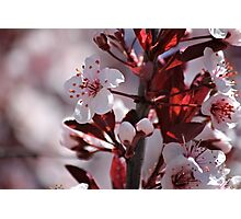 Japanese Cherry Tree (2) Photographic Print