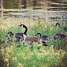 The Geese Family by angelandspot