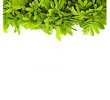 Green leaves frame isolated on white Photographic Print