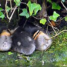 Ducklings all a cuddle by Chris Monks
