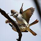 Ash-throated Flycatcher by Dennis Cheeseman