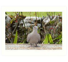 Ring neck dove Art Print