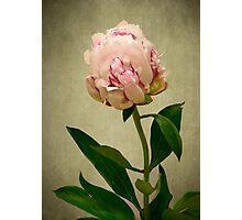 Peony Rose Photographic Print