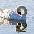 Mute swan 2 ( Cygnus olor ) by MarekM