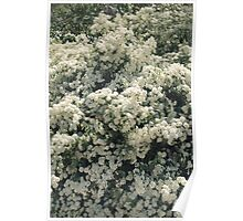 Summer Blooming Spirea, white flowers Poster