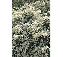 Summer Blooming Spirea, white flowers Photographic Print
