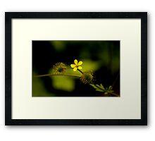 Yellow Woodsorrell Framed Print
