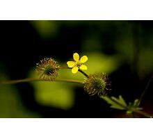 Yellow Woodsorrell Photographic Print