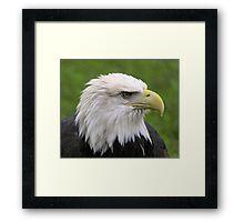 Minnesota Eagle Framed Print