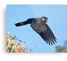 Yellow-tailed Black Cockatoo Metal Print