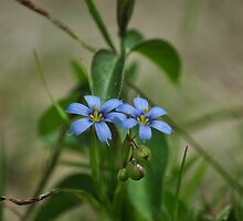 Blue eyed-grass by Poete100