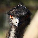 Female Emu  - Wilpenna  Pound - Flinders Ranges by john  Lenagan