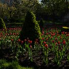 Downtown Victorian Garden - Red Tulips and Sunshine by Georgia Mizuleva