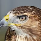 Red tailed Buzzard Profile by Dorothy Thomson