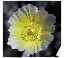 Yellow Poppy Poster