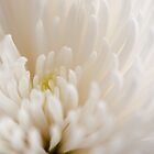 Chrysanthemum by Crystal Zacharias