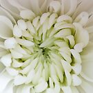 Baby Chrysanthemum by Crystal Zacharias