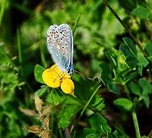 Silver-Studded Blue Butterfly by Susie Peek