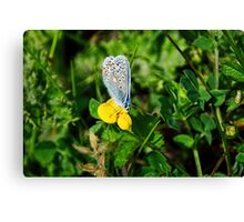 Silver-Studded Blue Butterfly Canvas Print