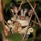 Sugar Glider  -  Atherton Tableland FNQ  - Oz by john  Lenagan