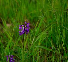 Orchis in the field (1) by Anne  RENARD