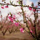 Pink Blossoms by MarthaBurns