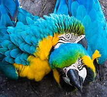 Blue-Gold Macaws by Dustin Williams