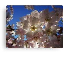 Cherry blossom at lunchtime Canvas Print