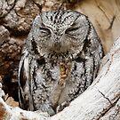 Western Screech Owl by Dennis Cheeseman