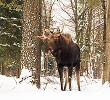 Bull moose in a winter landscape by Josef Pittner