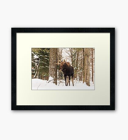 Bull moose in a winter landscape Framed Print