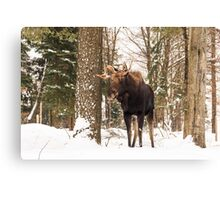 Bull moose in a winter landscape Canvas Print