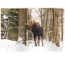 Bull moose in a winter landscape Poster
