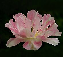 "Tulip ""Apple Blossom"" by jacqi"