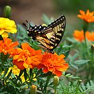 Swallowtail Butterfly and Marigold Garden by SpiceTree