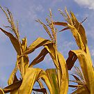 Corn And Blue Skies by WildestArt