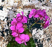 Pelargonium 11 - detail by hilary bravo