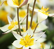 White and Yellow Blooms by Alison Hindenlang