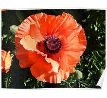 Large Poppy Flower Poster