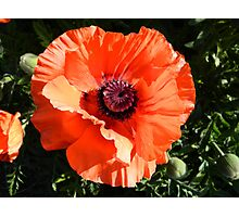 Large Poppy Flower Photographic Print